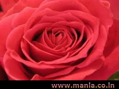 Lovely Red Rose, For Valentine Day