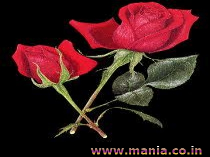 Red Roses, Valentine Day