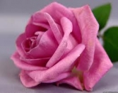 HAPPY VALENTINES DAY PINK ROSE
