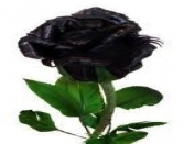 VALENTINE DAY, BLACK ROSE