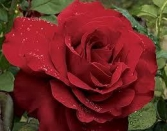 LOVE RED ROSE VALENTINE DAY