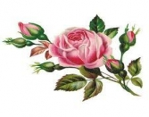 Love Pink Rose Valentine Day