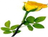YELLOW ROSE, VALENTINE DAY