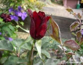 SMALL RED ROSE, VALENTINE DAY