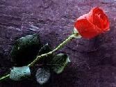 RED ROSE, HAPPY VALENTINES DAY